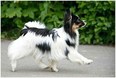 i love dogs Papillion Puppies, Papillon Dog, Cute Dogs Images, Cute Dog Photos, Kittens And Puppies, Chihuahua Puppies, Chihuahuas, Smartest Dogs, Dog Anatomy