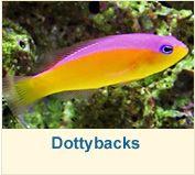 Purpleback dottyback.  Bold temperment, coral safe, monitor with shrimp.