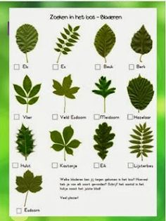Ticklist of common tree leaves. Get kids outdoors exploring with this fresh activity from the Woodland Trust's nature detectives website. Bring the outdoors into your classroom with this inspiring activity from the Woodland Trust's nature detectives we. Forest School Activities, Nature Activities, Outdoor Activities, Science Nature, Outdoor Education, Outdoor Learning, Early Education, Tree Leaf Identification, Tree Study