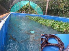 Cara Mudah Dan Efektif Budidaya Ikan Sidat Di Kolam Terpal Menambah Nilai Ekonomi - http://www.ruangtani.com/cara-mudah-dan-efektif-budidaya-ikan-sidat-di-kolam-terpal-menambah-nilai-ekonomi/