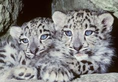 Snow leopard | Snow leopard (Uncia uncia) Mountains of N Asia, 8 week old captive ...