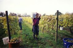 Oatley Madeleine Harvest 2003. For several years volunteers from Brymore School helped us get the Madeleine in on a weekend afternoon