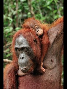 The Baby Orangutan ~ snoozed on its mum, with its arms draped around her neck. While his mother was going through Tanjung Puting National Park in Borneo, Indonesia. Primates, Mammals, Cute Baby Animals, Animals And Pets, Funny Animals, Strange Animals, Beautiful Creatures, Animals Beautiful, Baby Orangutan