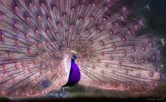 peacock - Purplelicious!