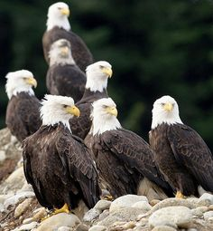The coastline is teeming with eagles.