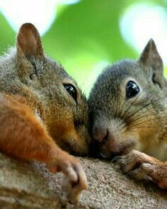 ☮ * ° ♥ ˚ℒℴѵℯ cjf Squirrel Pictures, Funny Animal Pictures, Hamsters, Rodents, Squirrels, Cute Squirrel, Hedgehogs, Scary Animals, Animals For Kids