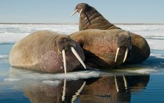 Bull walruses rest on an ice floating along the northern coast of Spitsbergen and the Svalbard Archipelago in Svalbard, Norway.  We will have a gallery of Steve Kazlowski's walrus photos on the Telegraph site later today.