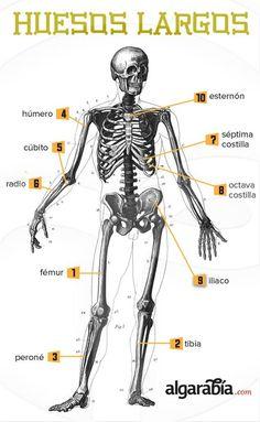 III, 4 - Los huesos más largos del cuerpo - Para los A lovers in my Spanish III class