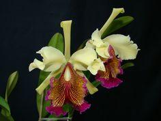 Cattleya aurea | Orquídeas Encanto e paixão