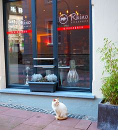 Schnurry the cat is a celebrity in Clervaux, Luxembourg. Here, he's sitting in front of the Rhino Steak House & Pizzeria. Click here for this cat's story and pictures: http://www.traveling-cats.com/2016/02/cat-from-clervaux-luxembourg.html (Clervaux, Luxembourg, steak house, pizzeria, Rhino, cat story, cat pictures, Schnurry)