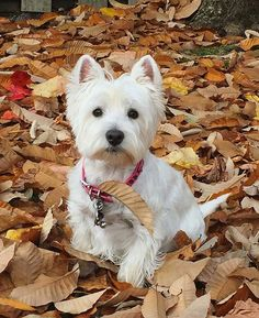 So handsome awwh. I love westies. My family has had 2.