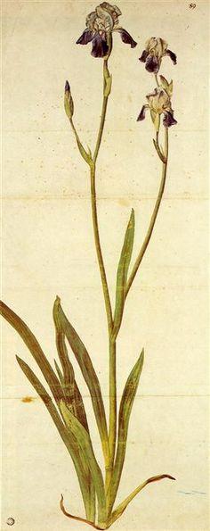 Iris Watercolour by Albrecht Dürer Wikimedia. Albrecht Durer Paintings, Albrecht Dürer, Illustration Botanique, Illustration Art, Renaissance Artists, Art Brut, Botanical Prints, Oeuvre D'art, Land Scape