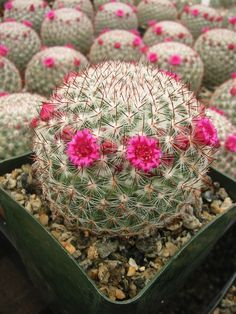 Mammillaria Rhodanta are green body plants with little white spines, they produce several a beautiful pink flowers.
