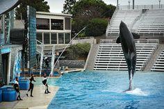 Killer Whale high jump at SeaWorld San Diego