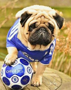 Soccer Pug⚽️come on Chelsea ! My dog needs this outfit English Bulldog Puppies, Baby Puppies, English Bulldogs, French Bulldogs, Corgi Puppies, Pug Love, I Love Dogs, Cute Pug Pictures, Pugs In Costume