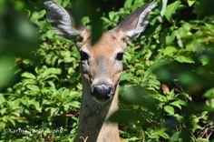 Deer at Rotary Park Ajax, Ontario. Canada