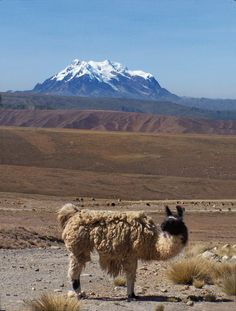 via www.mountainadventures.com  Llama with Illimani. Bolivia