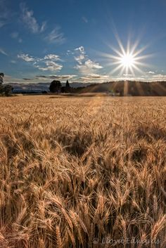 """""""Wheat Fields,"""" North Plains, Oregon. Copyrights belong to the photographer: Lloyd Edwards. L&L Photographer, L&L Images. All Rights Reserved 2012."""