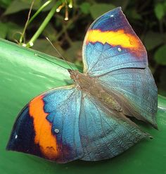 Butterfly | Kallima paralekta, commonly known as the Indian Leafwing or the Malayan Leafwing, is a species of brush-footed butterfly of the genus Kallima. Wikipedia