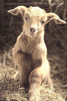 Baby goat <3