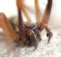 Species: Tegenaria sp.  Credit: Bob Brewer Identify your house spiders with our FREE app! https://www.societyofbiology.org/get-involved/hands-on-biology/spider-app