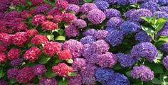 Barvu těchto krásných květin lze měnit podle přání