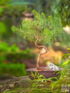 Tips for Growing Dwarf Conifers in Containers Plant conifers in containers with drainage holes, and use a high-quality, well-draining soil.Plant conifers in containers with drainage holes, and use a high-quality, well-draining soil. Bonsai Tree Care, Bonsai Tree Types, Bonsai Plants, Garden Plants, Landscaping Plants, Container Plants, Container Gardening, Miniature Trees, Trees And Shrubs