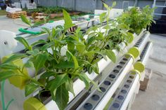 Hydroponics「水耕栽培」,簡而言之,無需依靠土壤為介質,利用含有植物生長所需元素的營養液直接供應植物根部的栽培方式。