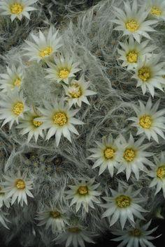 Mammilaria albicoma