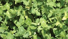 Food Plot Species Profile: Red Clover
