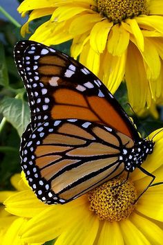 Monarch butterfly on a yellow daisy.