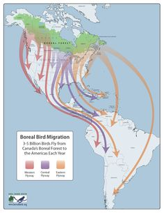 Boreal Bird Migration (3-5 Billion Birds Fly from Canada's Boreal Forest to the Americas Each Year)