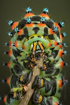 caterpillar/ Raupe