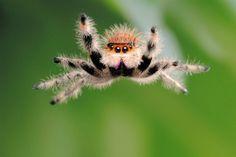 "This female regal ""orange morph"" jumping spider jumped  onto Linstead's camera lens. avaxnews.net."