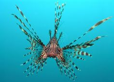 the problem of Lion Fish in the Caribbean - some solve it by making fish tacos, though there is some concern about the toxin in the fish meat. Interesting nonetheless. pterois_volitans1