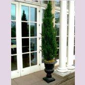 cypress in urn