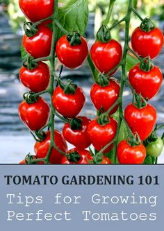 #Gardening : Tips for Growing Perfect Tomatoes