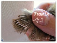 How to sex day old chicks: one even row of feathers on wings = male // two rows = female