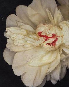 White Peony in bloom by Nobuyoshi Araki, White Peonies, Elizabeth And James, Still Life, Flora, Peony, Tokyo, Art Photography, Painting, Mood