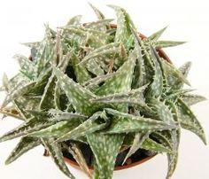 Sukkulenten Zimmerpflanzen kakteen sukkulenten zimmerpflanzen pflege hobi