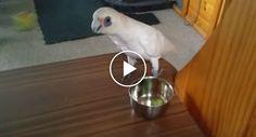 Angry Cockatoo Refuses to Eat His Broccoli