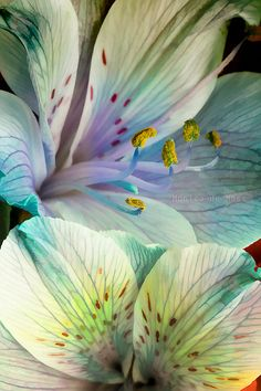 Alstroemeria wallart
