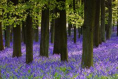 Is there a more pleasing sight in the british countryside than a bluebell wood in its prime.