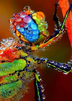 dragonfly covered in dew