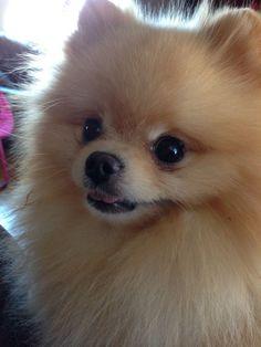 Pomeranian - so cute!