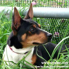 Bruce - Warren Mountain Rat Terriers.