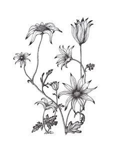 flannel flower tattoos – Tattoo Tips Flower Tattoo Designs, Flower Tattoos, Australian Flowers, Australian Wildflowers, Flannel Flower, Black And White Drawing, White Ink, Black White, Native Art