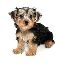 Cute Teacup Morkie puppy
