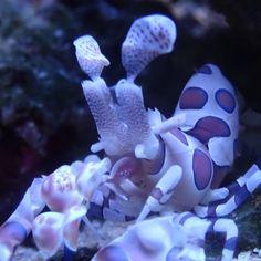 Acropora #pictureoftheday #picoftheday #picture #photo #photooftheday #animal #aquarium #aquariumhobby #reef #reefporn #reefer #reeftank #blijdorp #aqua #greatbarrierreef #sps #coral #corals #acropora #allmymoneygoestocoral #a #dutchreef #koraal #koralen #shrimp #shrimps by stefanvonk1 http://ift.tt/1UokkV2