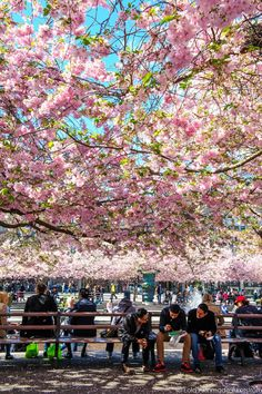 feeling extremely lucky to spend a week in Sweden during cherry blossom season <3